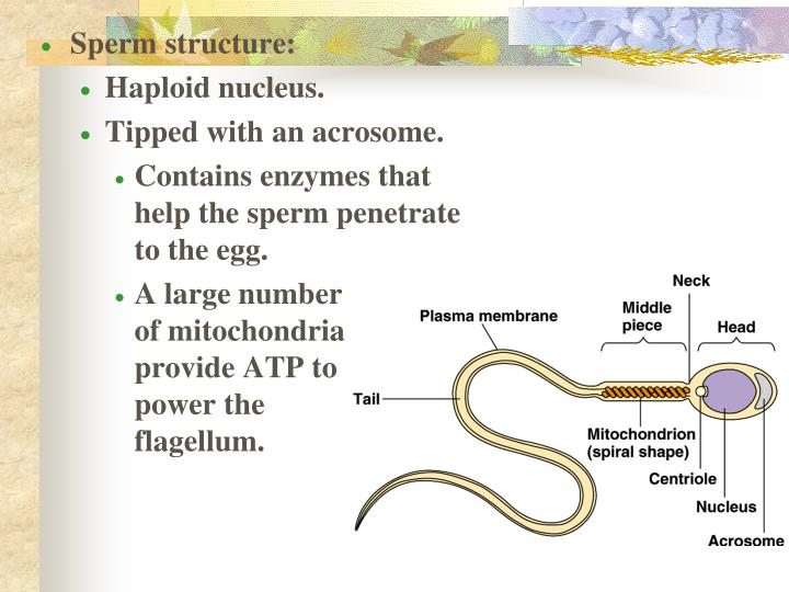 Sperm structure: