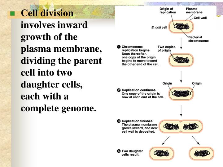 Cell division involves inward growth of the plasma membrane, dividing the parent cell into two daughter cells, each with a complete genome.