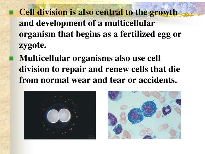 Cell division is also central to the growth and development of a multicellular organism that begins as a fertilized egg or zygote.