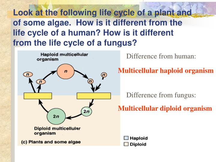 Look at the following life cycle of a plant and of some algae.  How is it different from the life cycle of a human? How is it different from the life cycle of a fungus?