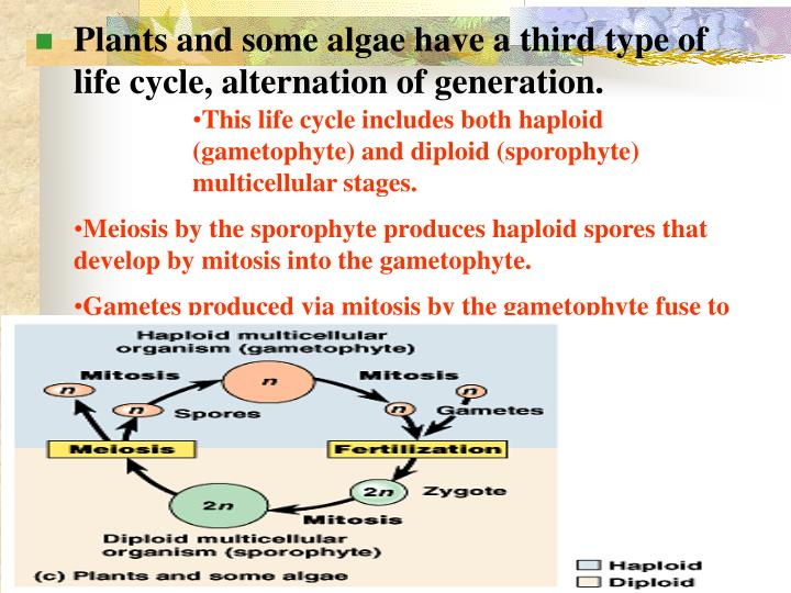 This life cycle includes both haploid (gametophyte) and diploid (sporophyte) multicellular stages.