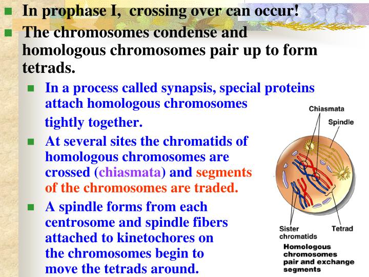 In prophase I,  crossing over can occur!