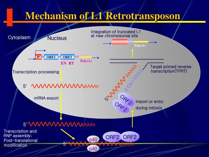 Mechanism of L1 Retrotransposon