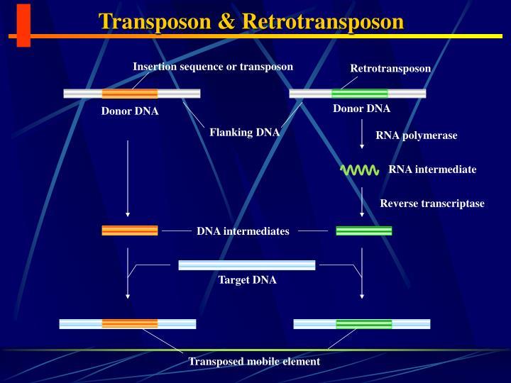 Transposon & Retrotransposon