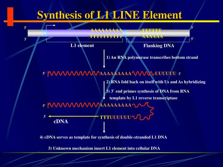 Synthesis of L1 LINE Element