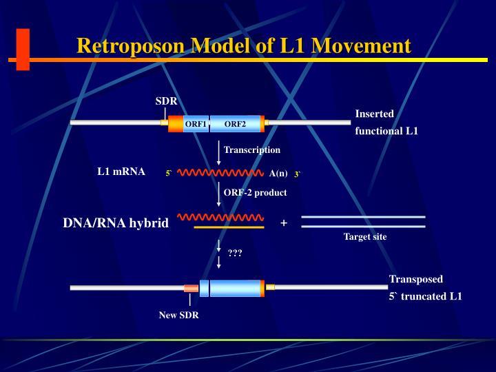 Retroposon Model of L1 Movement