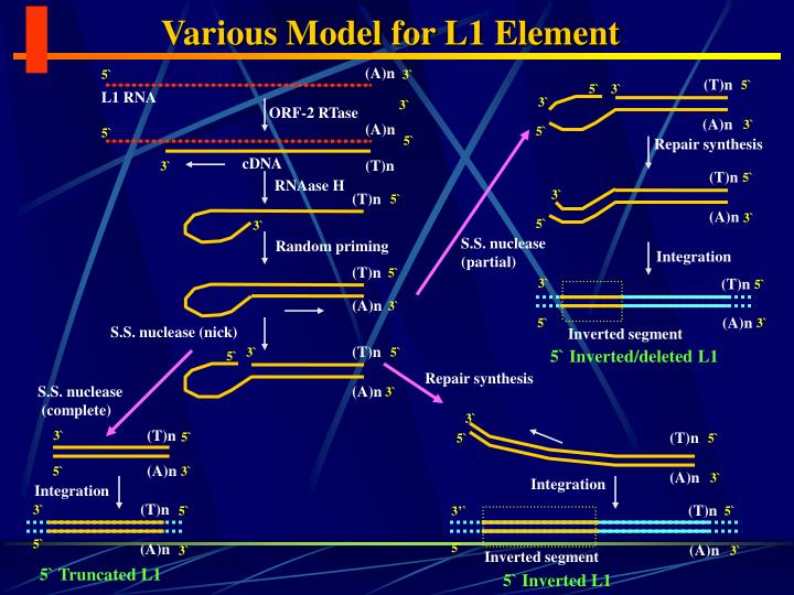 Various Model for L1 Element