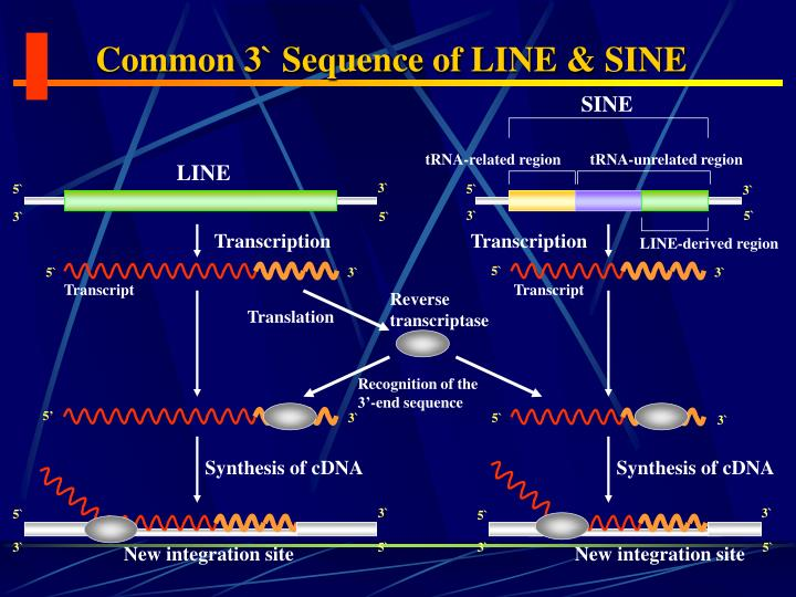 Common 3` Sequence of LINE & SINE