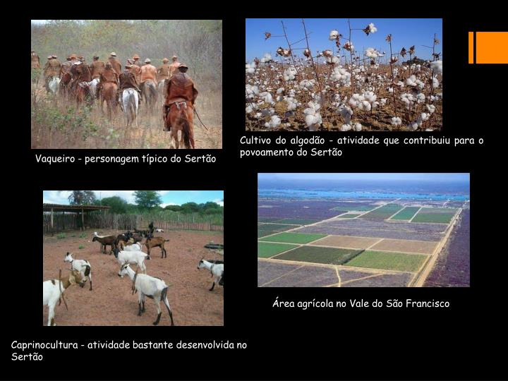 Cultivo do algodão - atividade que contribuiu para o povoamento do Sertão