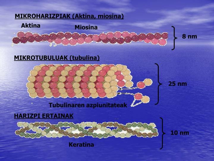 MIKROHARIZPIAK (Aktina, miosina)