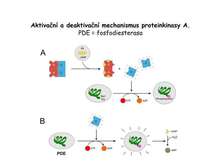 Aktivační a deaktivační mechanismus proteinkinasy A.