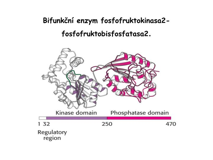 Bifunkční enzym fosfofruktokinasa2-fosfofruktobisfosfatasa2