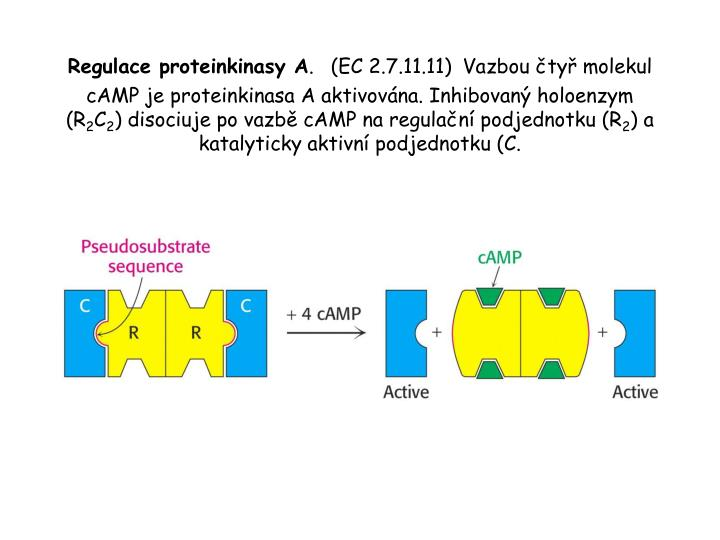 Regulace proteinkinasy A
