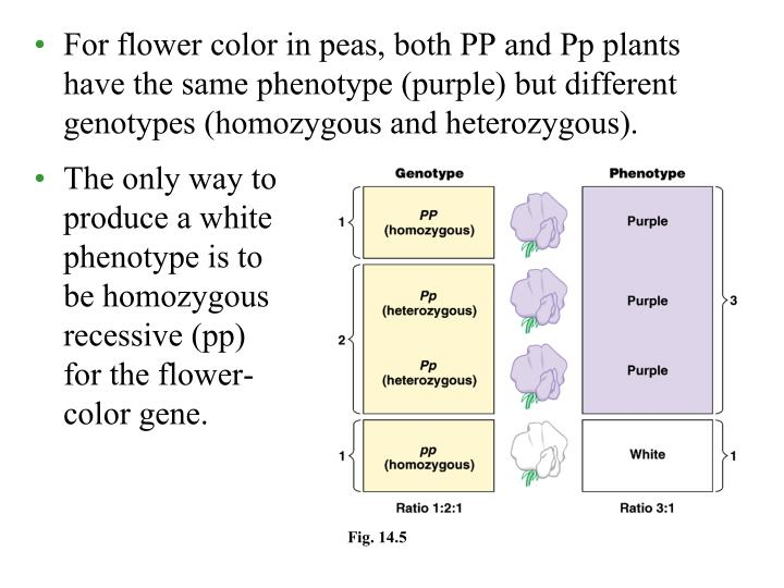 For flower color in peas, both PP and Pp plants have the same phenotype (purple) but different genotypes (homozygous and heterozygous).