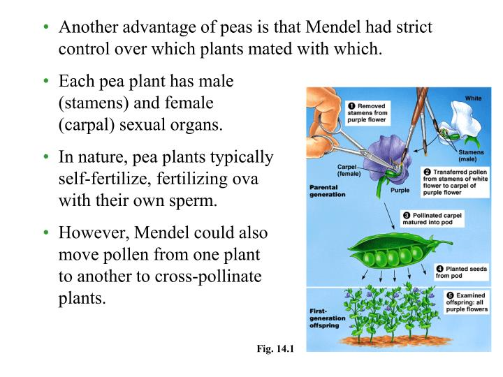 Another advantage of peas is that Mendel had strict control over which plants mated with which.