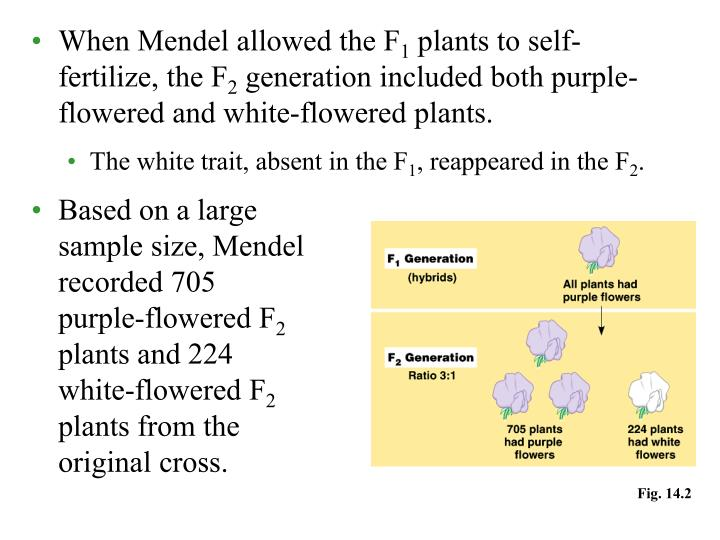 When Mendel allowed the F