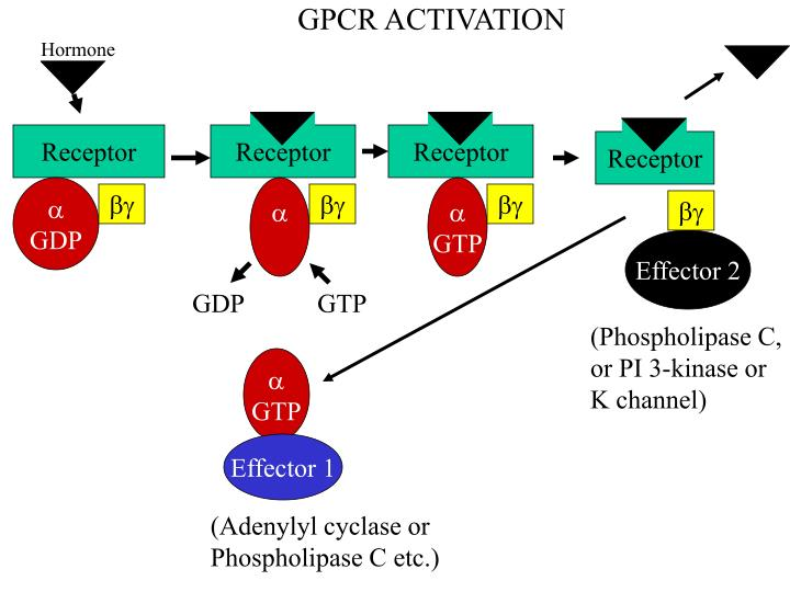 GPCR ACTIVATION