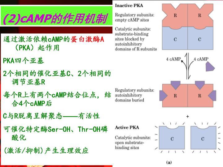(2)cAMP