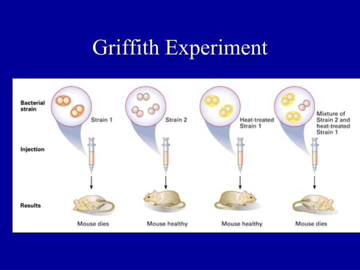 Griffith experiment