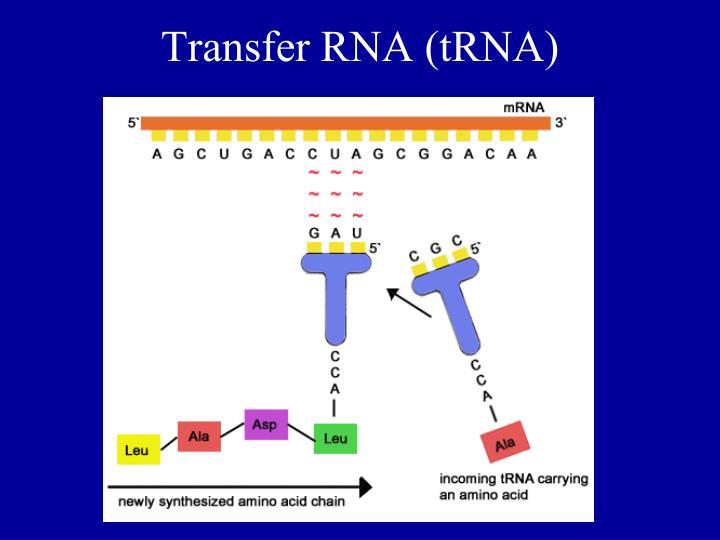 Transfer RNA (tRNA)