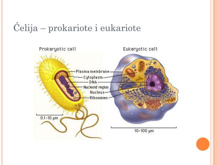 Ćelija – prokariote i eukariote