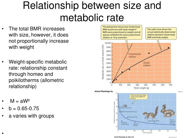 The total BMR increases with size, however, it does not proportionally increase with weight