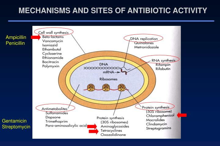 MECHANISMS AND SITES OF ANTIBIOTIC ACTIVITY