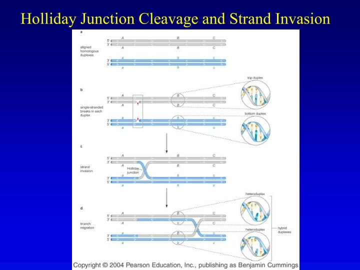 Holliday junction cleavage and strand invasion