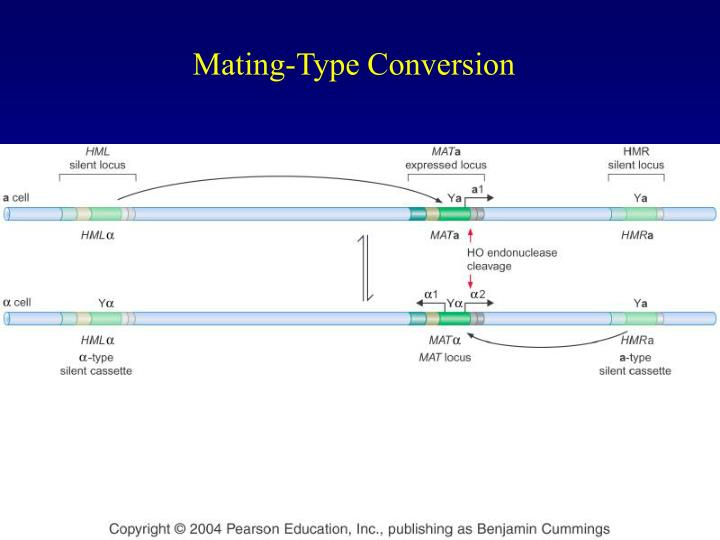Mating-Type Conversion