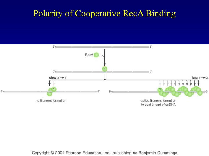 Polarity of Cooperative RecA Binding
