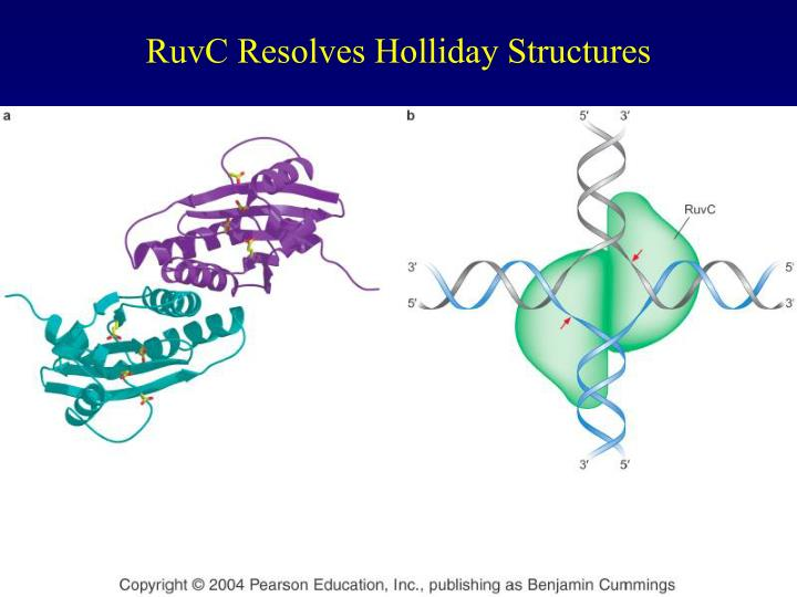 RuvC Resolves Holliday Structures