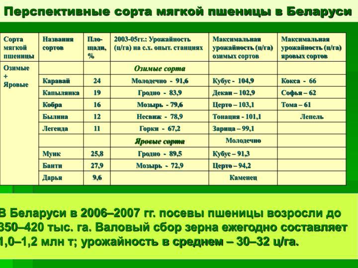Перспективные сорта мягкой пшеницы в Беларуси