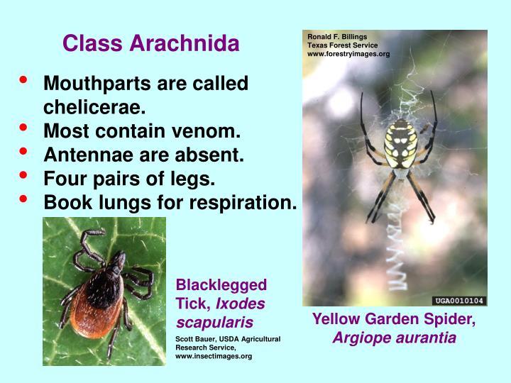 Class Arachnida