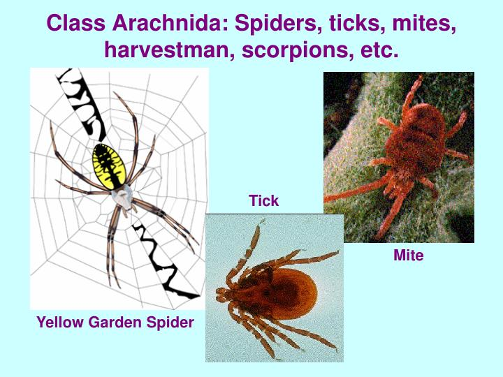 Class Arachnida: Spiders, ticks, mites, harvestman, scorpions, etc.