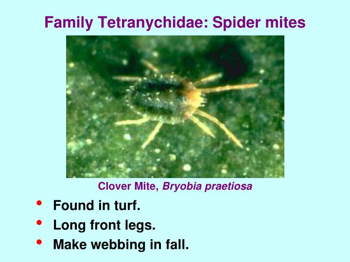 Family Tetranychidae: Spider mites