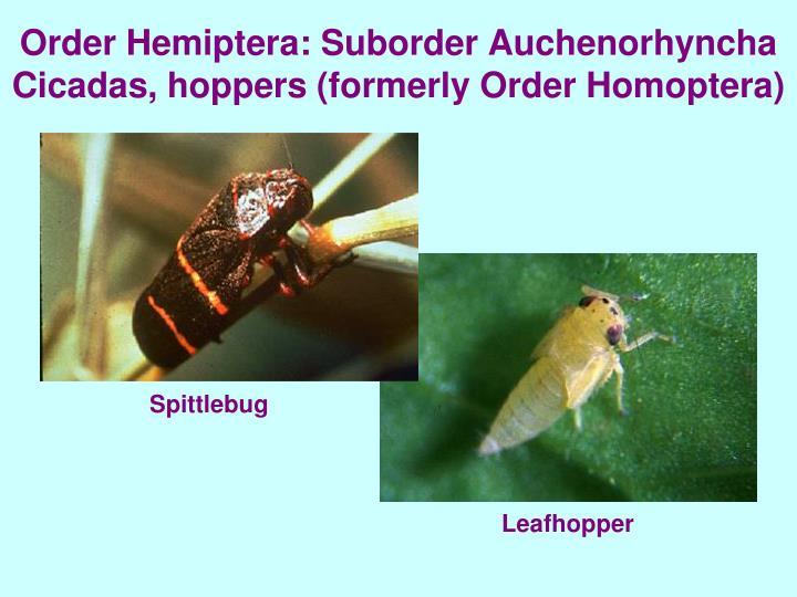 Order Hemiptera: Suborder Auchenorhyncha Cicadas, hoppers (formerly Order Homoptera)