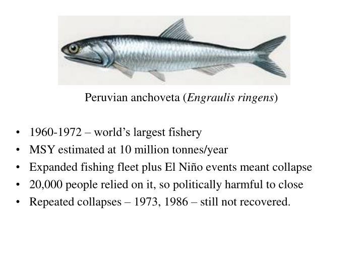 Peruvian anchoveta (