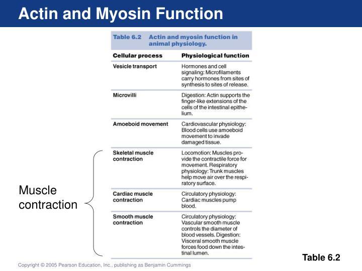 Actin and Myosin Function