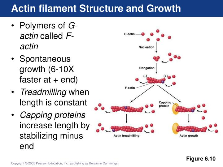 Actin filament Structure and Growth