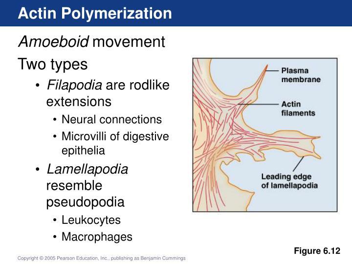 Actin Polymerization