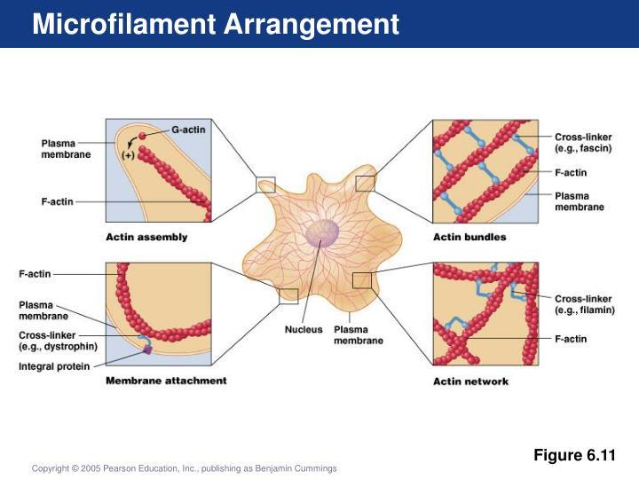 Microfilament Arrangement