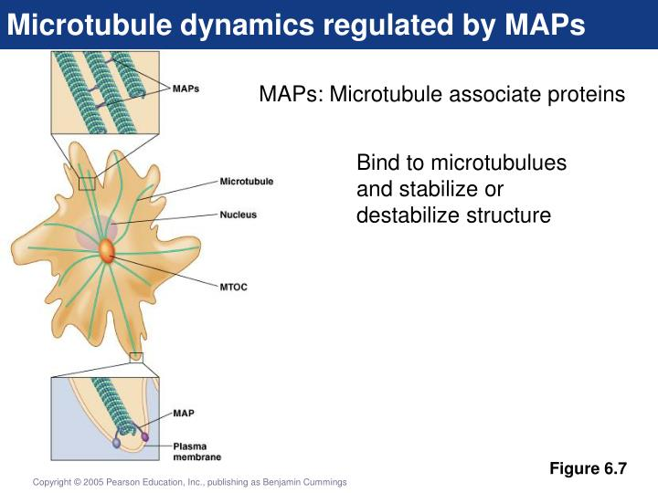 Microtubule dynamics regulated by MAPs
