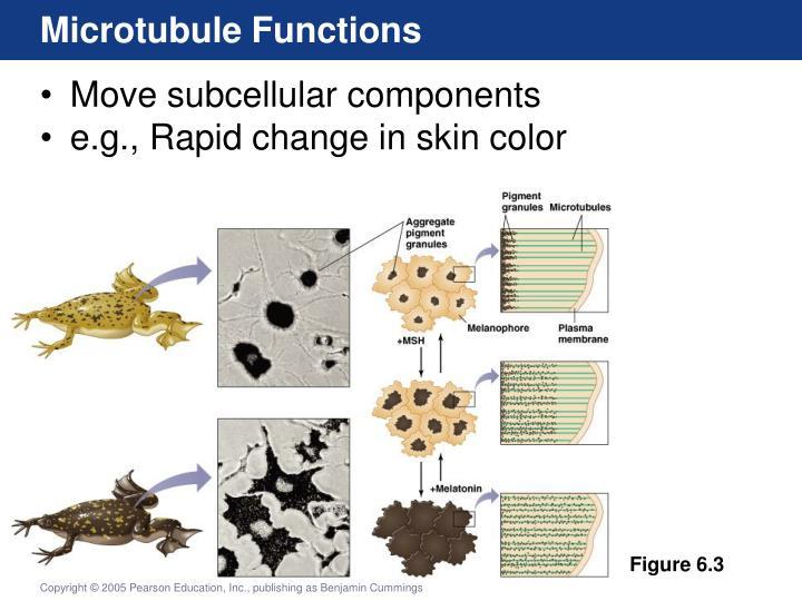 Microtubule Functions