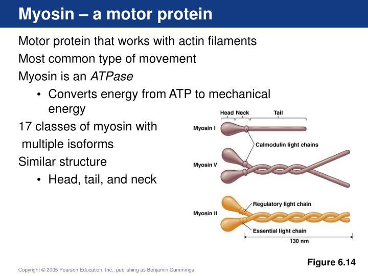 Myosin – a motor protein