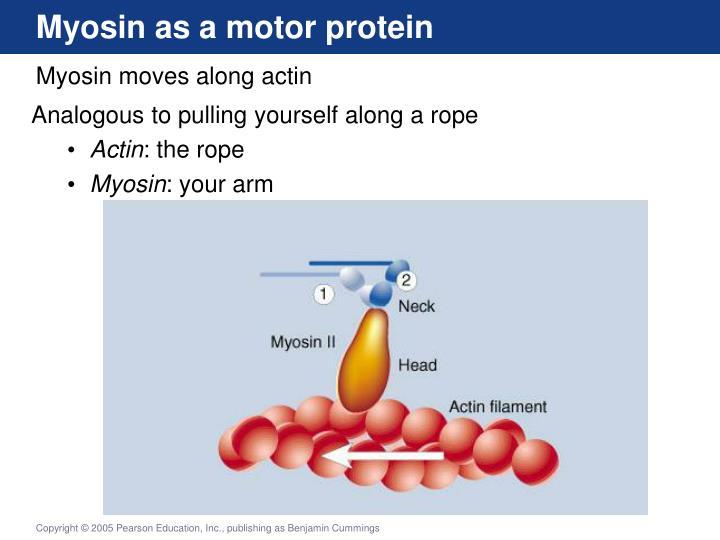 Myosin as a motor protein