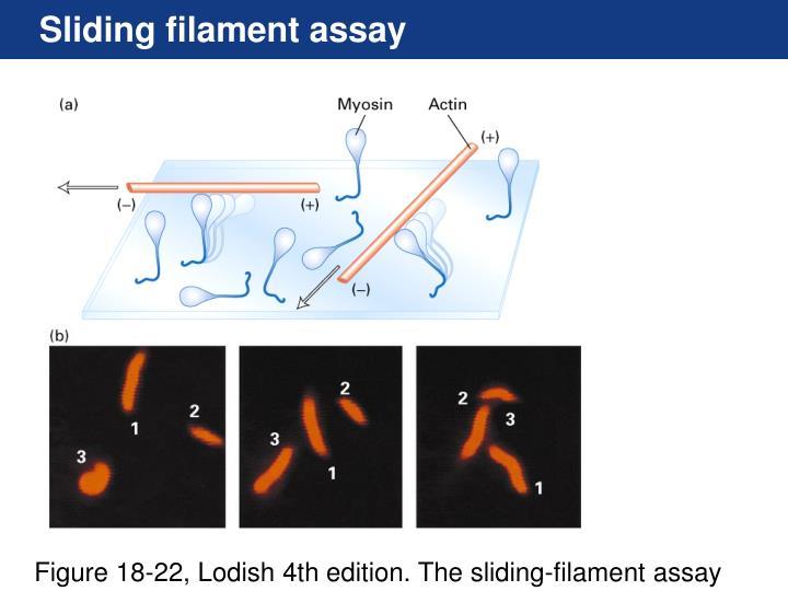 Sliding filament assay