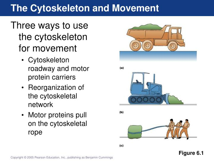 The Cytoskeleton and Movement