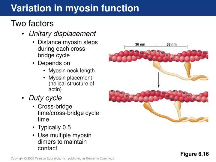 Variation in myosin function
