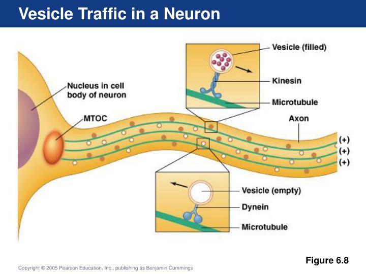 Vesicle Traffic in a Neuron