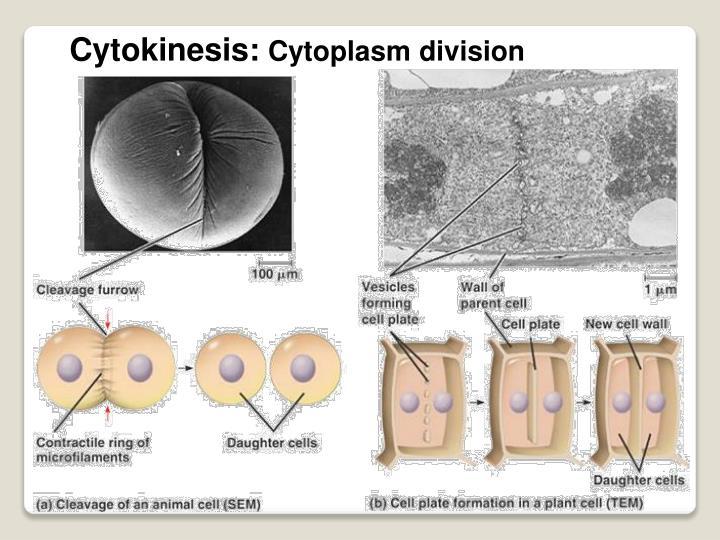 Cytokinesis:
